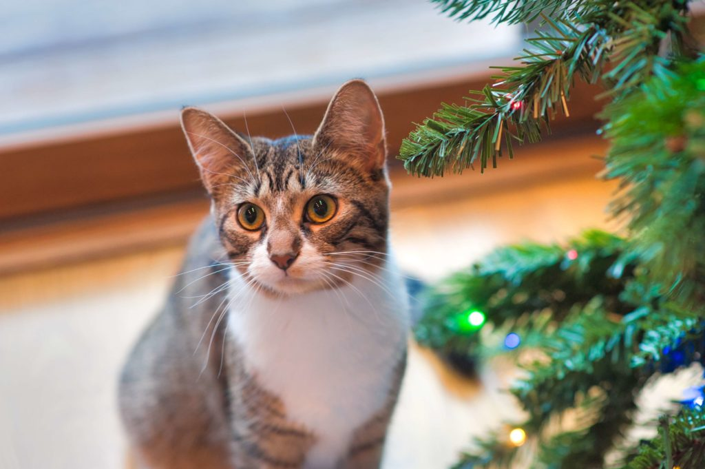 Christmas trees dangerous for cats